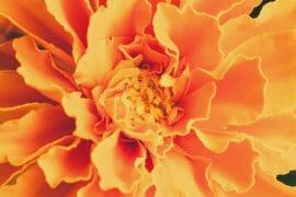 luteine fleur